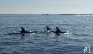 Dauphins de la mer d'Iroise